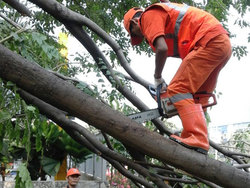 1036 small pohon rawan tumbang di kalideres dipangkas
