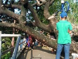 1240 small warga diminta laporkan pohon rawan tumbang