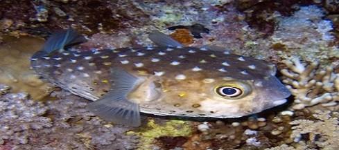 22548 medium ikan buntall kaskus.co .id