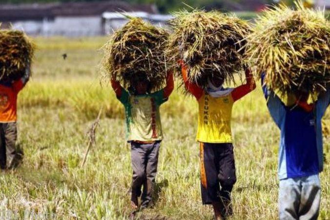 23730 medium beras petani