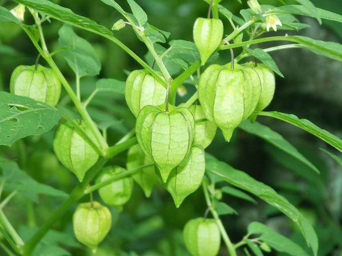 23786 medium manfaat tanaman ciplukan untuk pengobatan herbal