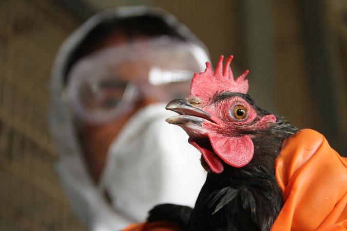 2678 medium unggas terjangkit flu burung sempat dikonsumsi warga