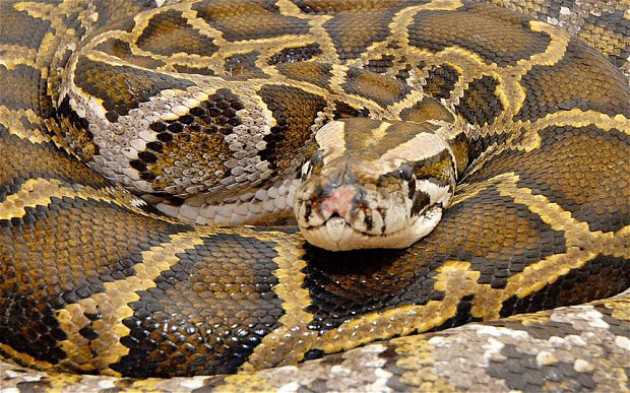 27890 medium lagi  penemuan ular piton di pemukiman warga kemayoran
