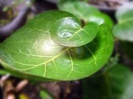 30777 medium manfaat daun mangkokan