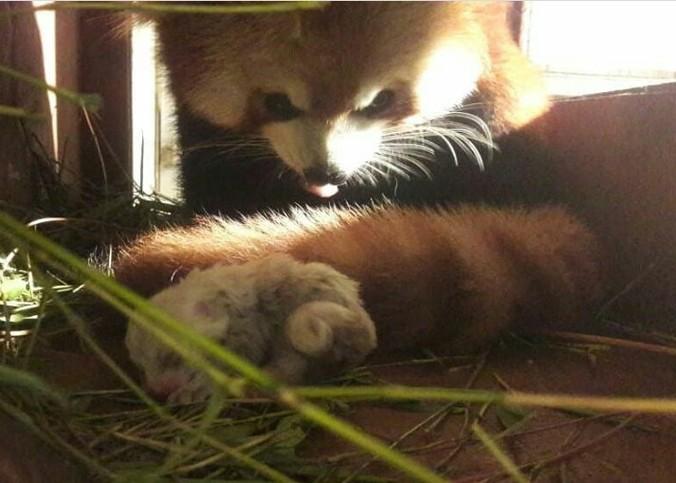 47568 medium panda merah