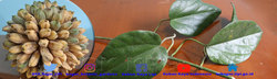 50373 small i6cbme4kyb21nqdpliwz file 2 phytocrene palmatautama