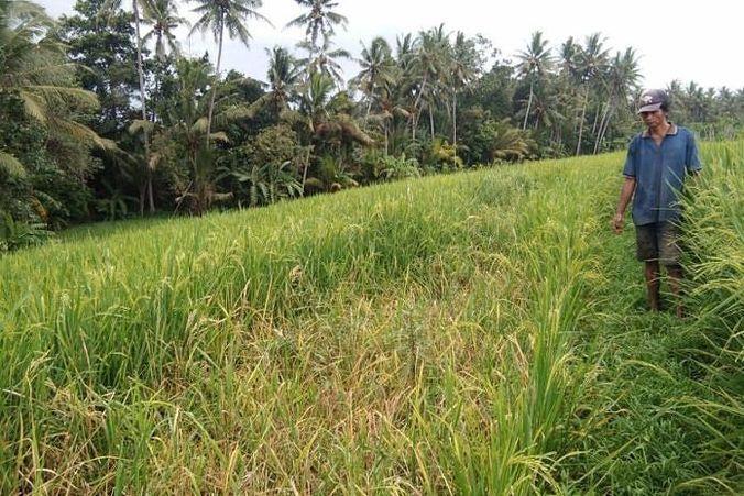 50689 medium balipostcom petani subak serongga resah puluhan hektar padi diserang hama tikus 01 696x464