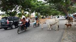 51036 small ternak berkeliaran di pusat kota palu ganggu lalu lintas