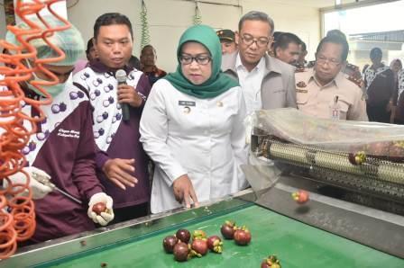 51700 medium ekspor manggis bogor