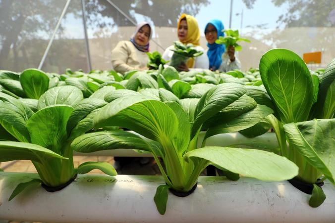 54305 medium ayobdg panen tanaman hydroponik ncos 5