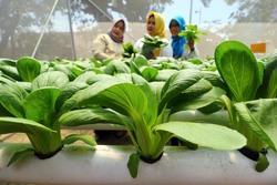 54305 small ayobdg panen tanaman hydroponik ncos 5