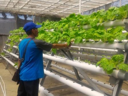 58341 medium hidroponik warga cengkareng timur hasilkan 50 kilogram sayuran tiap bulan