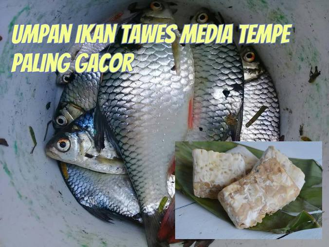 59271 medium ikan tawesss%281%29