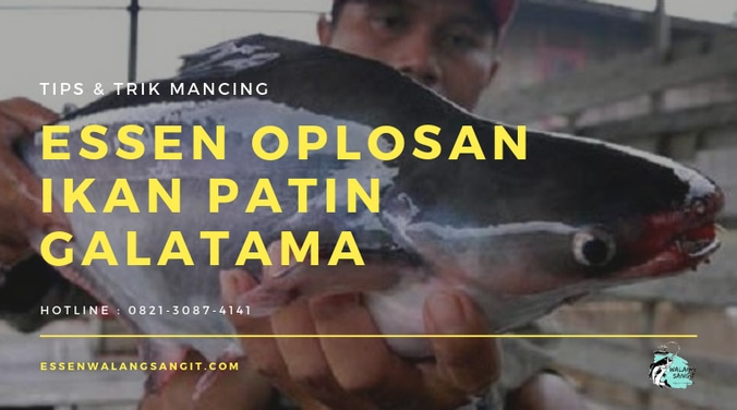 59636 medium essen oplosan ikan patin galatama