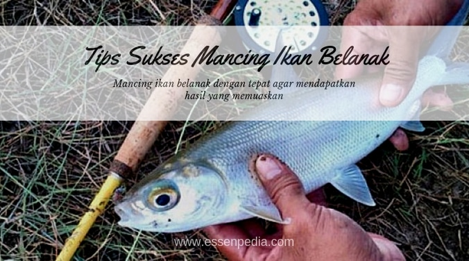 61182 medium tips mancing ikan bandeng