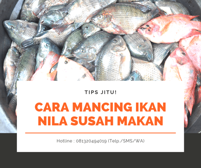 62396 medium tips jitu cara mancing ikan nila yang susah makan paling ampuh