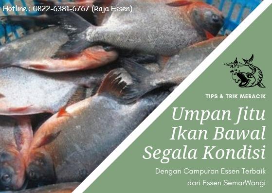 65669 medium umpan ikan bawal segala kondisi