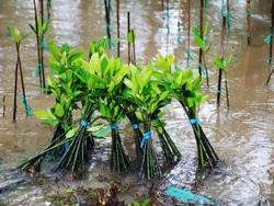 66994 small pulihkan kawasan pesisir  pemprov dki jakarta bersama elemen masyarakat tanam mangrove