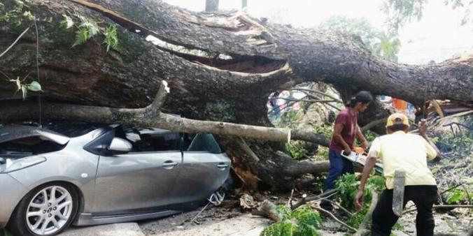 9645 medium pohon 150 tahun tumbang