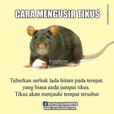 10 tikus